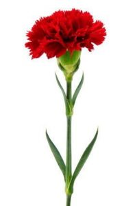 red carnations
